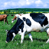 豪大手運送保険企業、高級牛肉における「食の安全」にブロックチェーンを導入