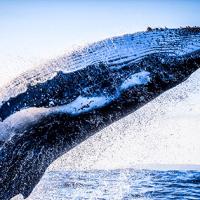 仮想通貨ビットコインゴールド、一匹のクジラが市場支配か 供給量の約半分を保有